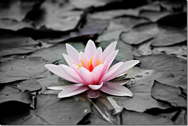 water-lily-1510707_960_720